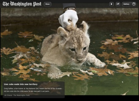 Washington Post iPad App, Lion cub